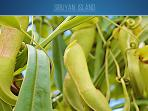 Pitcher Plant - Endemic on Sibuyan Island ( nepenthes sibuyanensis )