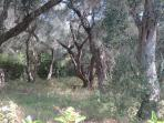 Surrounded by secular olive trees
