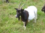 A wild Goat at the Goat park, part of the Galloway forest park.
