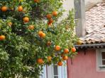 Oranges on tree in Bormes les Mimosas