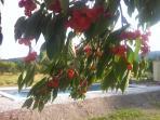 Cherries in abundance