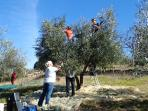olive picking in  nov