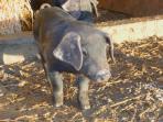 Meet the piglets!