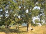 Ancient cork oaks provide shade in the back garden
