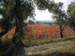 Autumn colours in the vineyards. Renowned Minervois wines can be savoured visiting les caves.