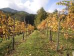 tra i filari in autunno