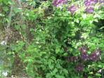Roses & clematis climb together