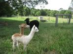 The friendly family of alpacas