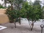 Lemon trees in the garden - guests are welcome to pick from any of the fruit trees in the garden