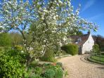 Pear tree in blossom on side approach to Leep Cottage