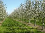 Cider apple orchard between West Lydford and Barton St David