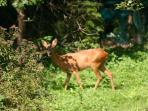 We often see the deer in the garden early in the morning, or late afternoon