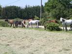 New Forest ponies enjoying the grass in our orchard