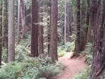 Trails through the Redwoods in the Arcata Community Forest - 5 minute walk from cottage