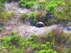 Turtles in our Natural Dunes -     #Anneflovc