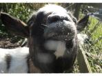 twiggy - our dwarf goat - always up for a bit of dry bread