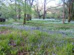 Our woodlands full of bluebells and wildlife