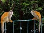 Squirrel monkeys (Mono Titi) at the pool