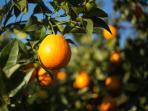 Our Orange Grove