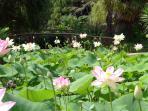 The Lotus Lake at the Tropical Gardens at St Cyr