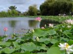 The Lotus Lake at the Gardens in St Cyr
