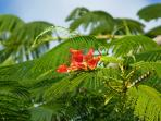 The Flamboyan Tree.....One of Mother Nature's Gifts to Puerto Rico