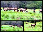 Enjoy the resident herd of Roosevelt Elk on the Elk House property