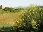 'Ginestra' in bloom