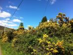 Gorse bushes, Spring 2014