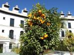 Orange trees in communal garden