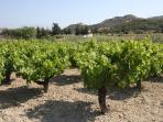Vineyards detail