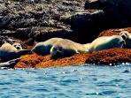 Harbor seals are basking on the rocks and ledges along the Damariscotta River.
