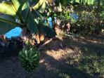 bananier à coté de la piscine
