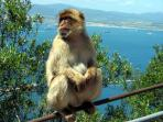 Venture up the rock for a close encounter with the Barbary Macaques