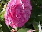 Roses abound in the garden
