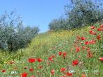 Glorious view of the villa's olive grove, with an unforgettable flowering in early summer....