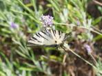 One the hundreds of amazing butterflies which will keep you company at the villa...