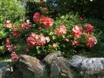 Rockery roses in front of the villa in summer bloom....