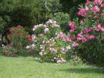 Oleander plants in full blom surrounding the pool terrance....