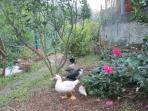 Owners' ducks in garden