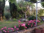 pink roses and cypressus row near the olive tree