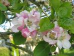 Apple Blossom time Ivy Farm