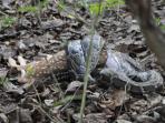 During jungle safari python having whole deer.