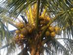 Coconut from the land