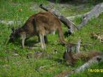 Kangaroos in Yanchep National Park