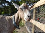 Billy, one of our friendly goats