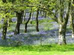 April and May are the best time for the bluebells.