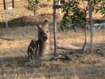 Old kangaroo resting under apple tree