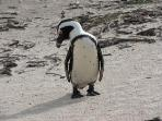 Penguin and Boulders Beach