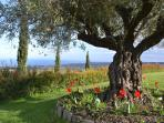 The 200-year-old olive tree